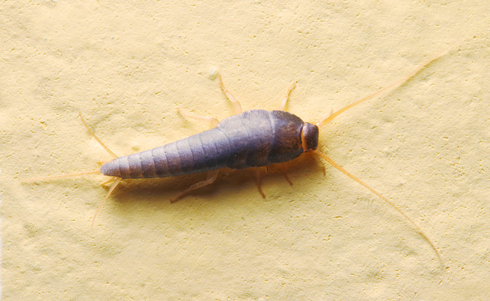 what do silverfish look like