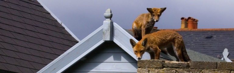 fox removal and control in London
