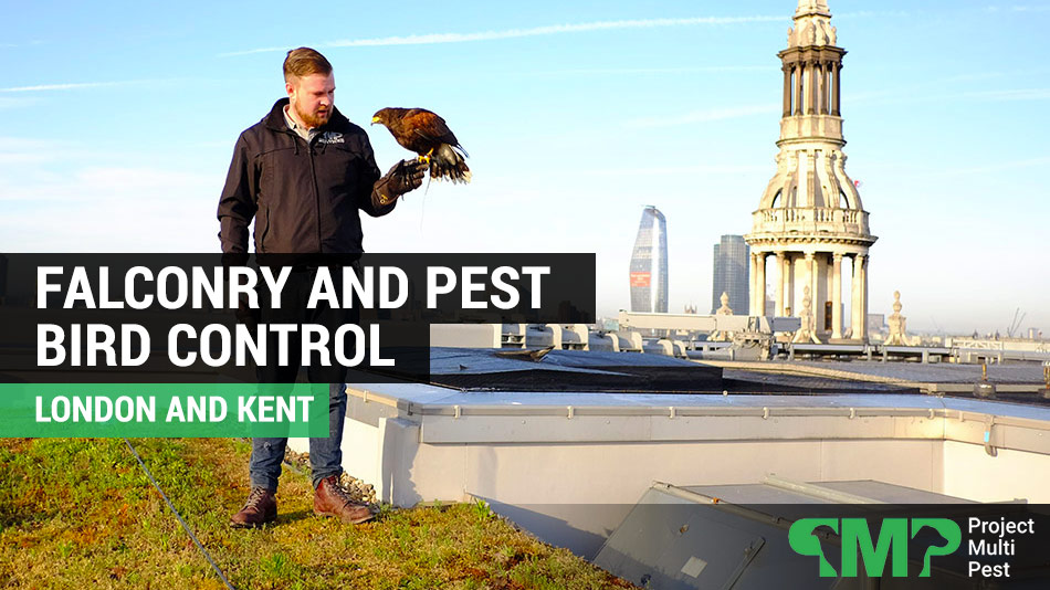 pest bird control in London using falconry