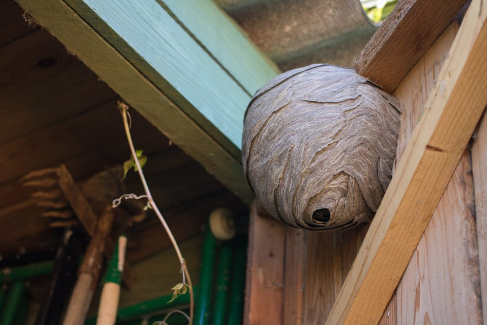 wasp nest in a shed
